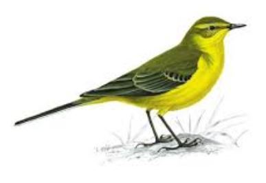 Yellow Wagtail Spotted