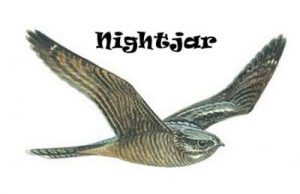 Nocturnal Nightjar